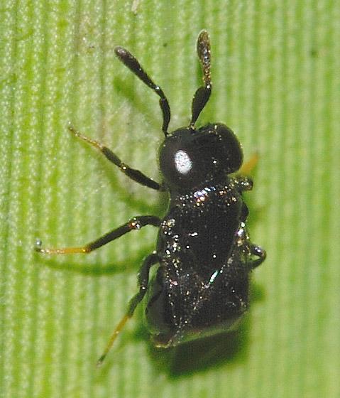 Really Small Wasp