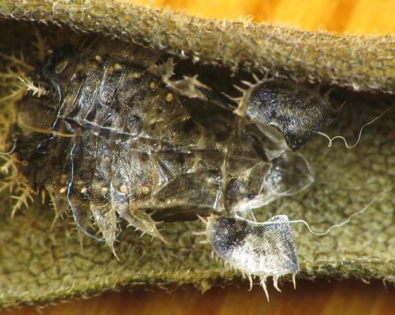 Cassidinae on bindweed. Empty pupal case - Charidotella sexpunctata