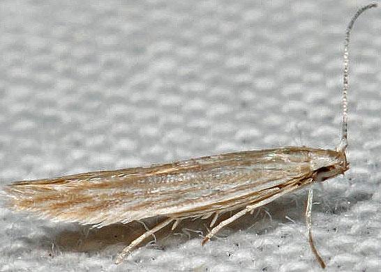 moth - Coleophora quadrilineella - male