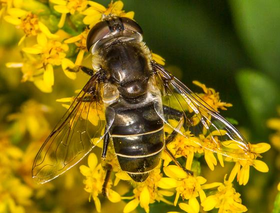 Syrphid - Eristalis dimidiata - female
