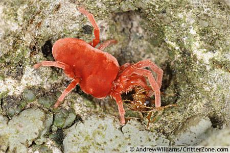 Red Velvet Mite with ant prey - Allothrombium