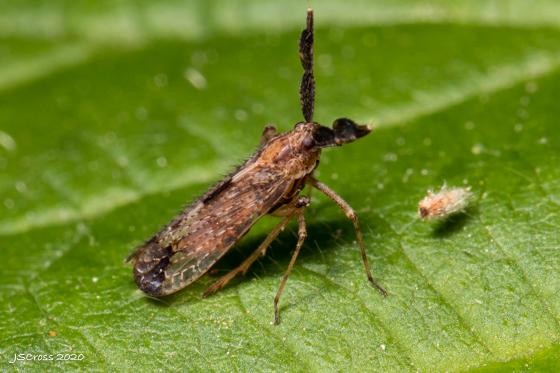 Planthopper - Copicerus irroratus