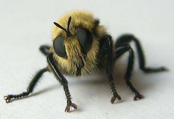 Robber Fly - Laphria astur