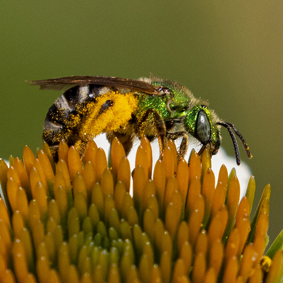 Striped Sweat Bee on coneflower - Agapostemon virescens - female