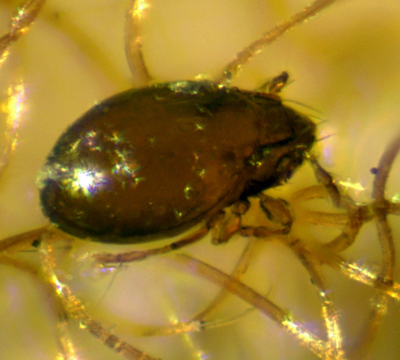 Oribatid found in relationship with the scale insect Cryptococcus fagisuga