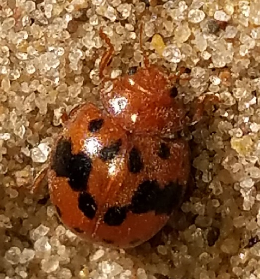 Subcoccinella vigintiquatuorpunctata (Alfalfa Lady Beetle) - Subcoccinella vigintiquatuorpunctata