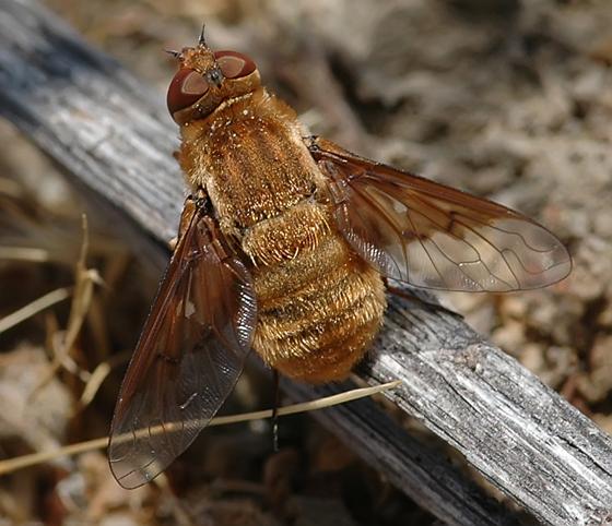 Paravilla fulvicoma - female