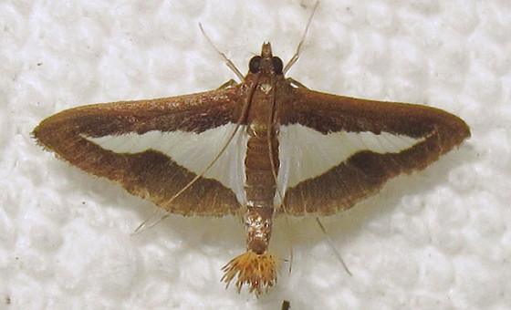 Hodges #5205 Diaphania modialis - Diaphania modialis