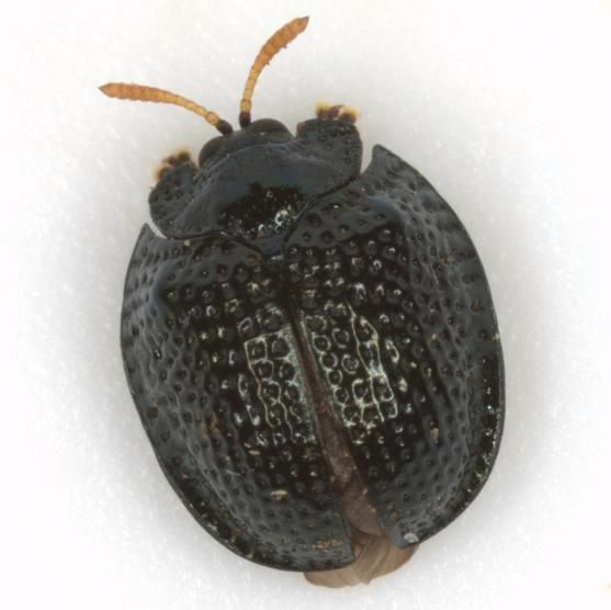 Hemisphaerota cyanea (Say) - Hemisphaerota cyanea