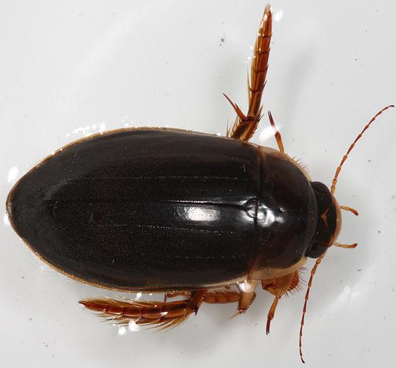 dytiscid - Dytiscus hatchi - male
