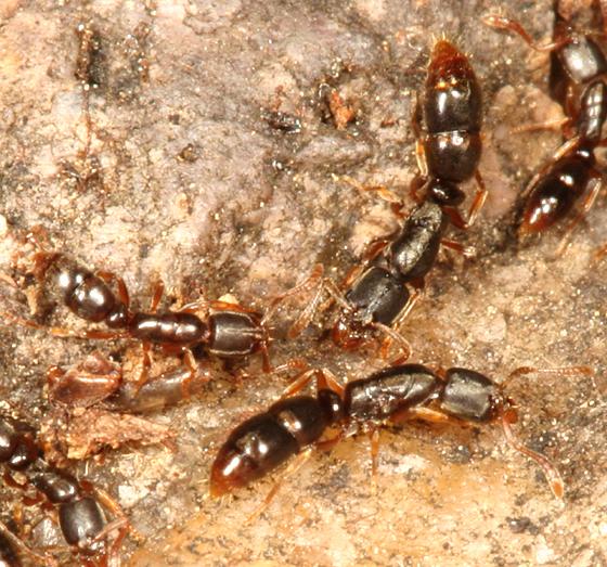 Ponerinae ant - Ponera pennsylvanica