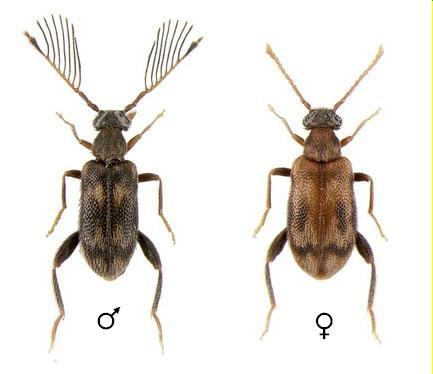 Emelinus melsheimeri (LeConte, 1855) - Emelinus melsheimeri - male - female