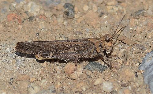 Grasshopper species? - Trimerotropis verruculata - male