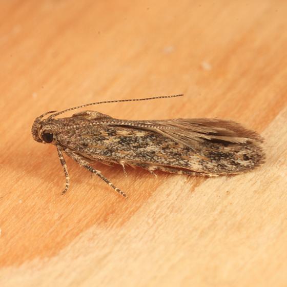 tiny beach moth