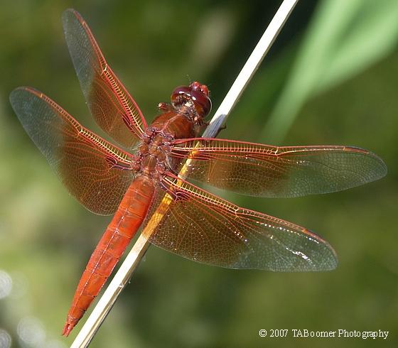 Flame Skimmer - Libellula saturata - male