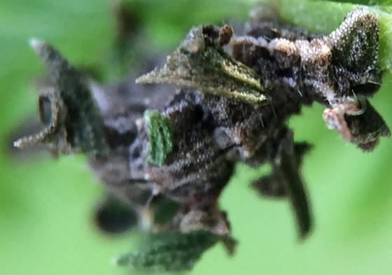 Larva of some sort - Synchlora