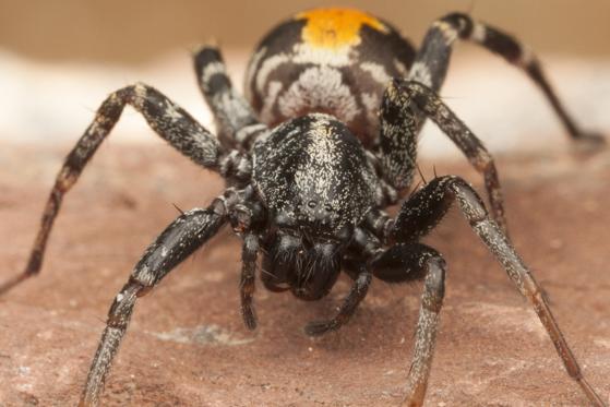 Spider - Castianeira dorsata