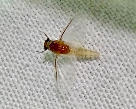 Small Squaregilled Mayfly