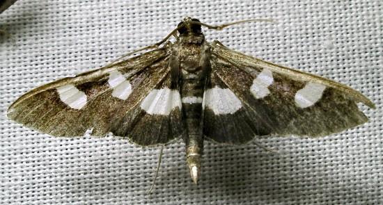 worn moth - Desmia