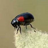 Black & red beetle - Babia quadriguttata