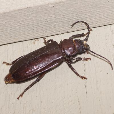 Hardwood Stump Borer Beetle - Mallodon dasystomus