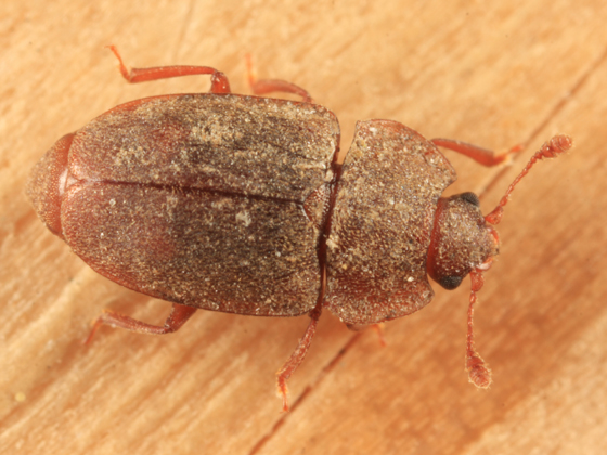 Nitidulid - Epuraea rufa