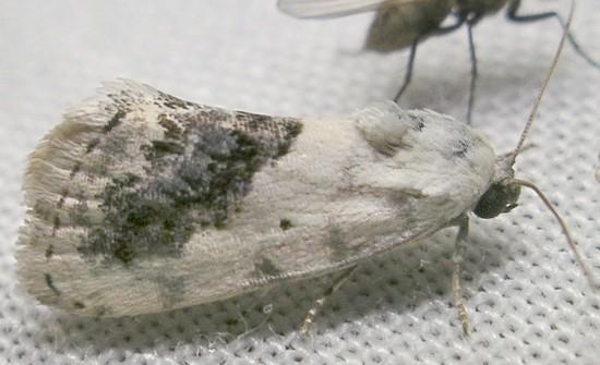bird-dropping moth - Ponometia erastrioides