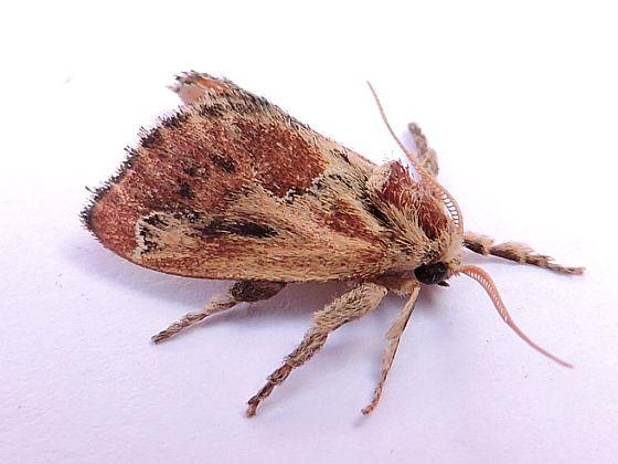 Moth  - Adoneta spinuloides