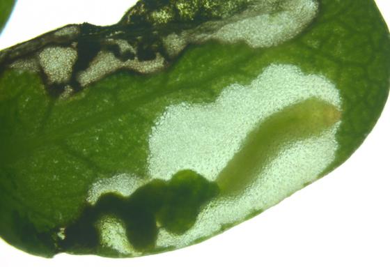 Argidae, larva in purslane - Schizocerella pilicornis