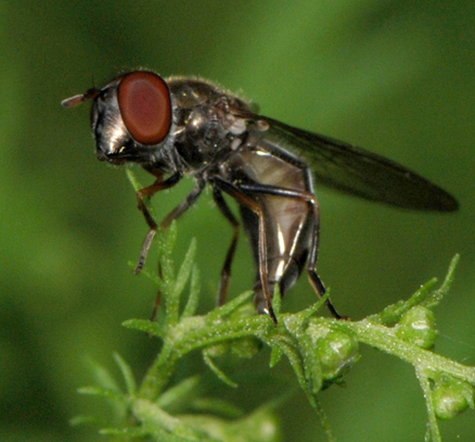 Syrphidae laying eggs - Platycheirus - female