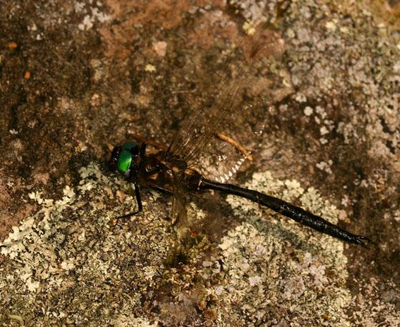Emerald195 - Somatochlora forcipata - male