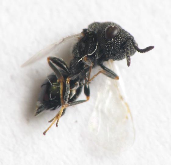 Goldenrod round gall residents. Parasitoid - Eurytoma gigantea - female