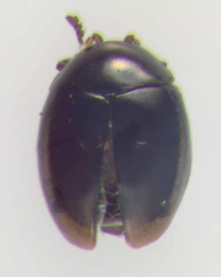 Corylophidae, dorsal  - Orthoperus
