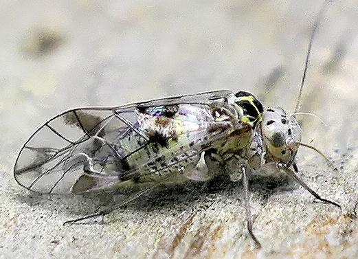 barklouse - Metylophorus novaescotiae