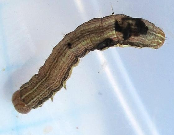 caterpillar - July 6 - Mythimna unipuncta