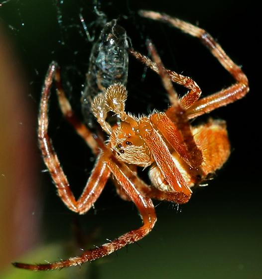 Cross Spider? - Araneus diadematus - male