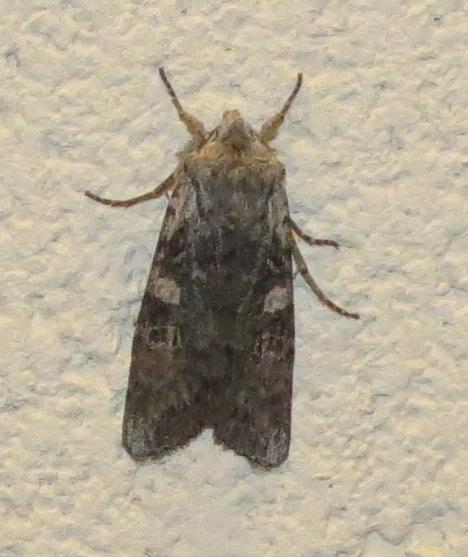 Moth - Noctuidae - Lithophane