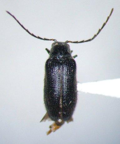 Eurypogon niger