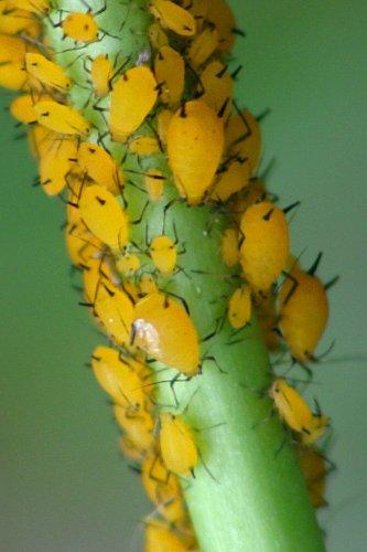 Aphids on Milkweed - Aphis nerii