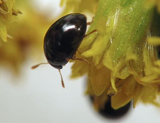 Tiny Shiny Black Beetles Olibrus