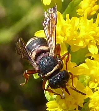 Wasp maybe cuckoo? - Epeolus bifasciatus