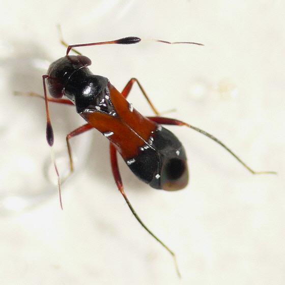 Pilophorus laetus