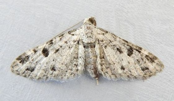 Arizona Moth - Prorella discoidalis