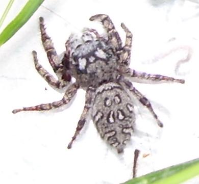 Spiders Wanting to be Identified for a Project - Phidippus mystaceus
