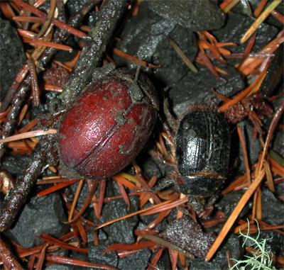 Rain Beetle - Pleocoma - male - female