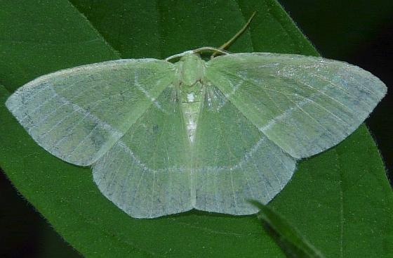 Moth - Nemoria mimosaria - male