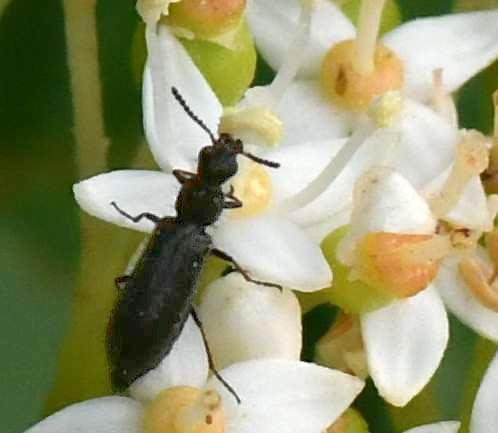 Beetle family ID - Dasytes plumbeus