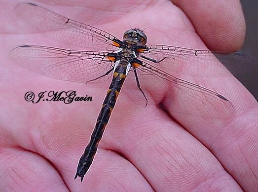 Dragon fly 1 which species - Helocordulia uhleri