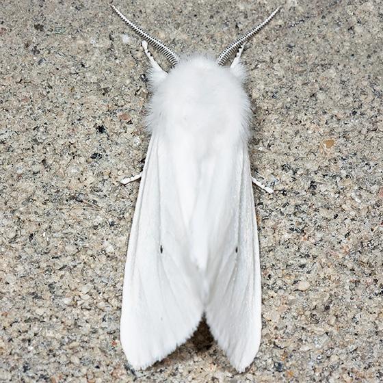 Virginia Tiger Moth - Hodges#8137 - Spilosoma virginica