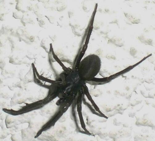 unknown black spider - Plectreurys - male